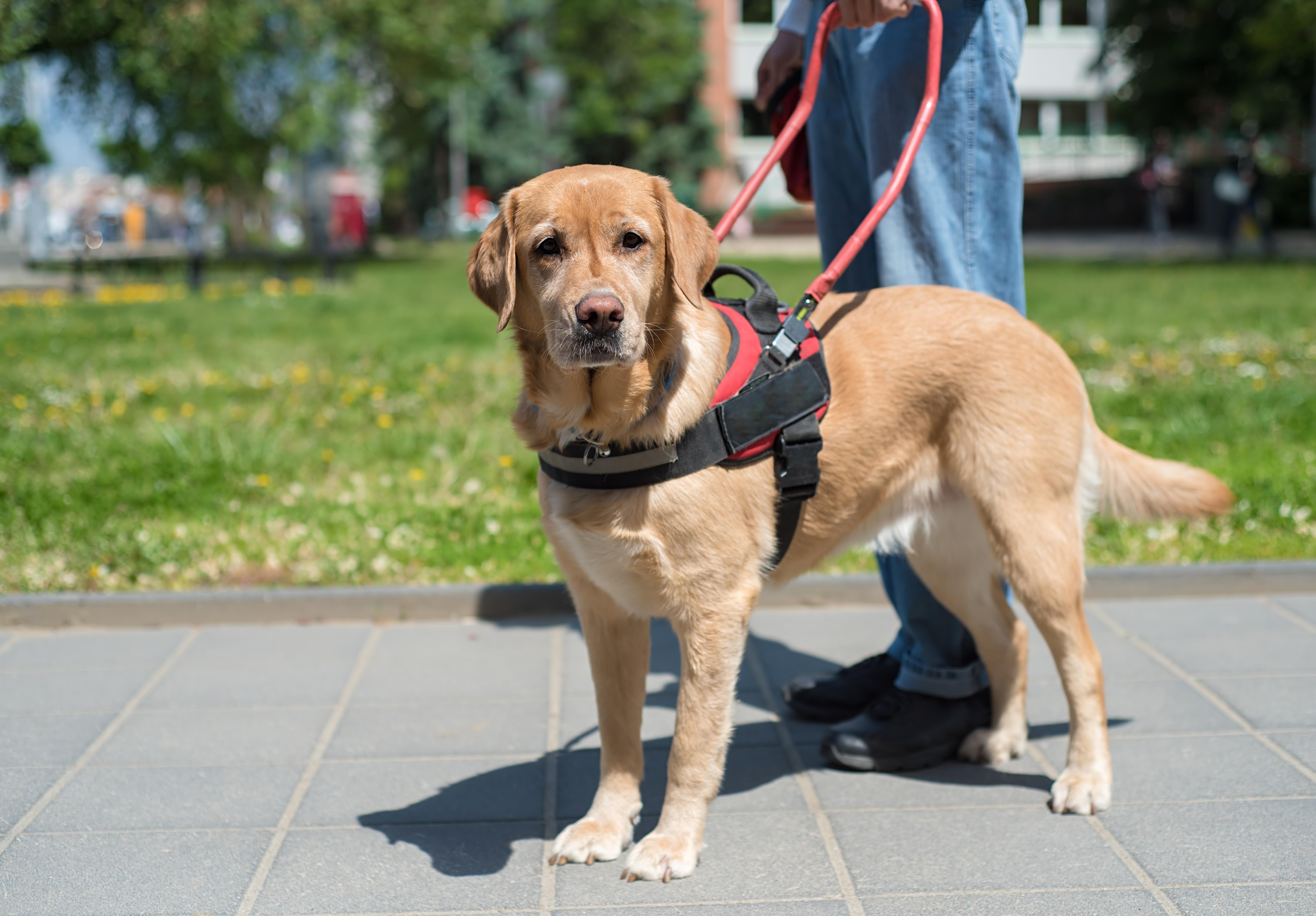 Foto de um cão-guia em pé, parado ao lado de seu tutor, que registrado da cintura para baixo. Ele é labrador, tem pelos castanhos e olha para frente. Eles estão em uma praça.