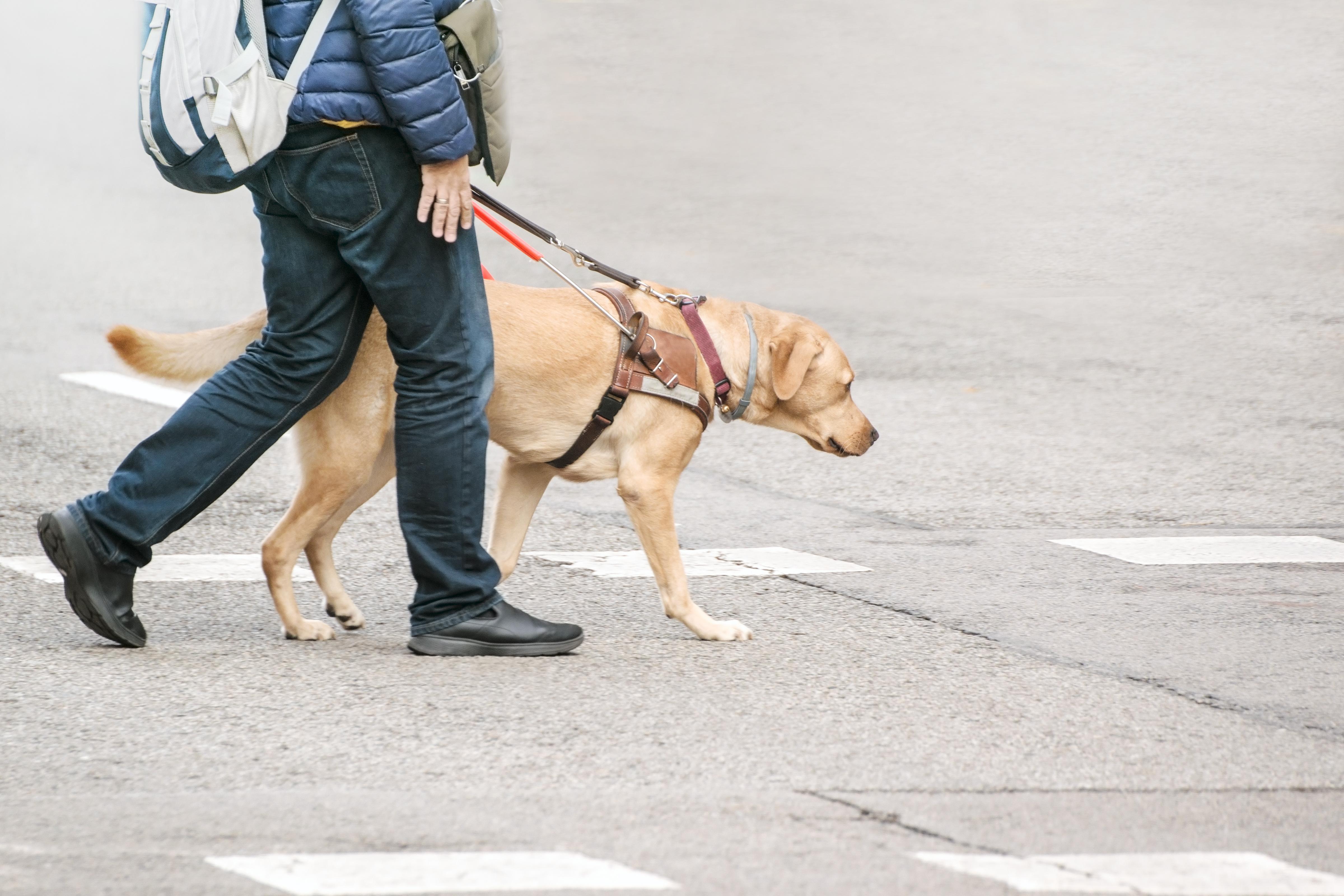 Foto de um cão-guia atravessando a rua ao lado de seu tutor, registrado da cintura para baixo.