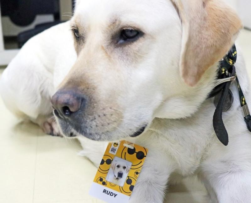 Foto de Rudy, cão-guia de um colaborador da Fundação Dorina. Ele é um labrador de cor clara, está sentado olhando de perfil e com um crachá de funcionário da Fundação Dorina, com seu nome e foto.