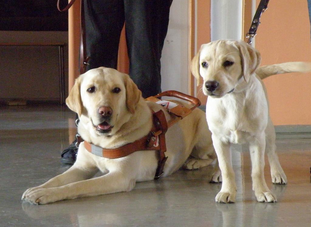 Descrição de imagem: foto de dois cães labradores. Um deles, deitado, tem a coleira característica dos cães-guia. Atrás deles vê-se as pernas de uma pessoa de pé.